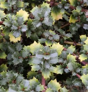 Immergrüne Sächelblume Emily Brown 25-30cm - Ceanothus gloriosus