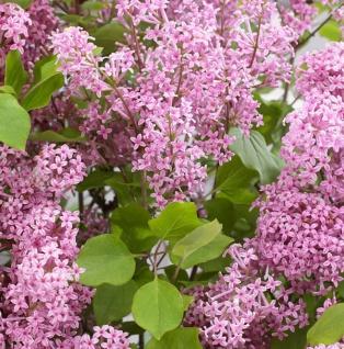 Zwergflieder Flowerfesta®Pink 40-60cm - Syringa vulgaris