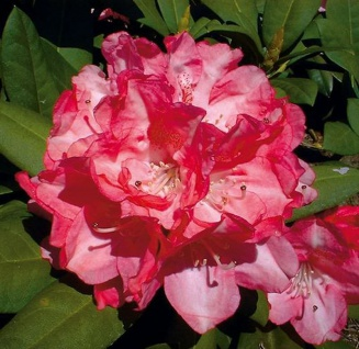 INKARHO - Rhododendron Anuschka 25-30cm - Alpenrose