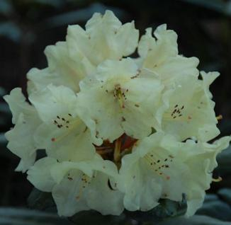 Rhododendron Bohlkens Laura® 30-40cm - Alpenrose