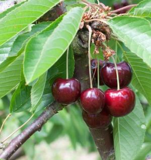 Süßkirsche Große Schwarze Knorpel 60-80cm - dunkelrote süße Früchte