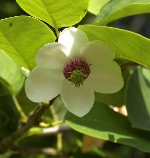 Hochstamm Sommer Magnolie 100-125cm - Magnolia sieboldii