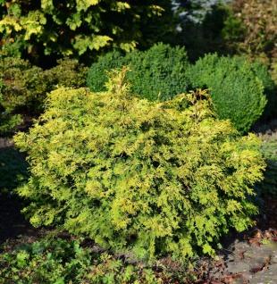 Muschel Scheinzypresse Bronze Pygmaea 15-20cm - Chamaecyparis obtusa