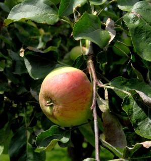 Apfelbaum Biesterfelder Renette 60-80cm - feinwürzig und saftig