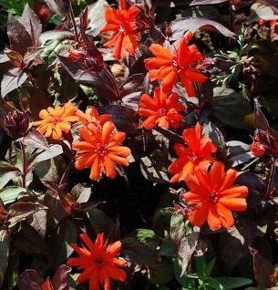 Orangerote Lichtnelke Oranger Zwerg - Lychnis arkwrightii