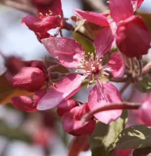 Zier Apfelbaum Profusion 60-80cm - Malus