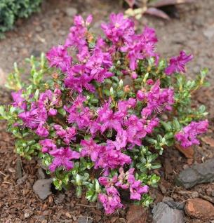 Kriech und Zwerg Rhododendron Select 15-20cm - Rhododendron radistrotum
