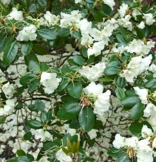 Rhododendron Rothenburg 40-50cm - Alpenrose