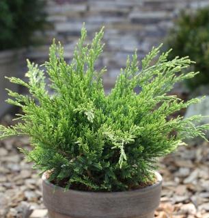 Grüner Strauchwacholder Mint Julep 50-60cm - Juniperus media