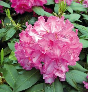 Großblumige Rhododendron Walküre 30-40cm - Alpenrose