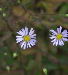Herbstwild Aster - Aster laevis
