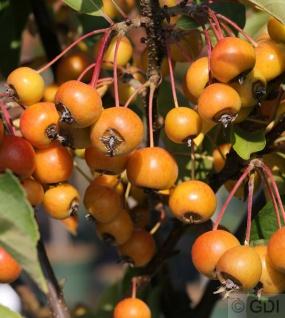 Hochstamm Zierapfelbaum Pom Zai 60-80cm - Malus Hybride