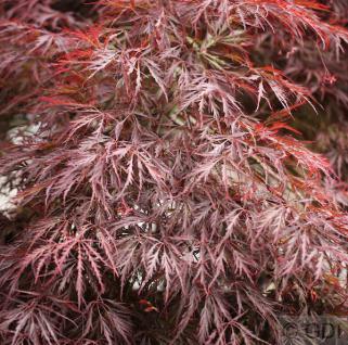 Hochstamm Dunkelroter Schlitz Ahorn Garnet 100-125cm - Acer palmatum