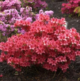 Japanische Azalee Sabina 25-30cm - Rhododendron obtusum - Zwerg Alpenrose