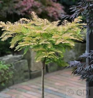 Hochstamm Kugel Urweltmammutbaum Matthaie 80-100cm - Metasequoia glyptostroboides