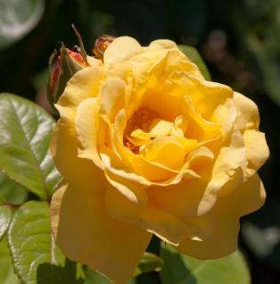 Floribundarose Arthur Bell 30-60cm