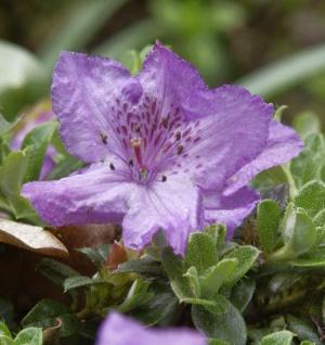 Zwerg Alpenrose 20-25cm - Rhododendron keleticum