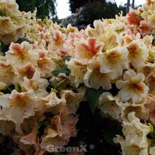 INKARHO - Großblumige Rhododendron Off Shot 40-50cm - Alpenrose
