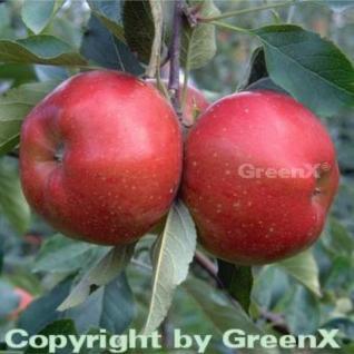 Apfelbaum Melrose 60-80cm - feinwürzig und fest