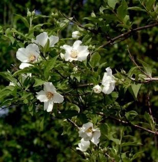 Gartenjasmin Belle Etoile 100-125cm - Philadelphus
