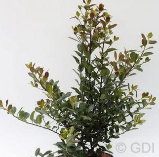 Stechpalme Ilex Heckenblau® 80-100cm - Ilex meserveae