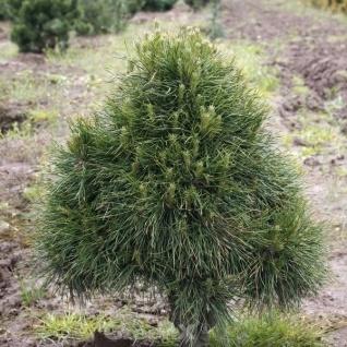 Kugelige Zwerg Kiefer Globosa Viridis 70-80cm - Pinus sylvestris