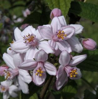Rosendeutzie 100-125cm - Deutzia hybrida