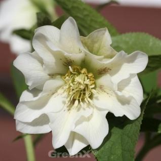 Christrose Lenzrose Double Ellen White - Helleborus orientalis