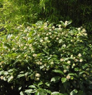Knopfbusch Fiber Optics 30-40cm - Cephalanthus occidentalis