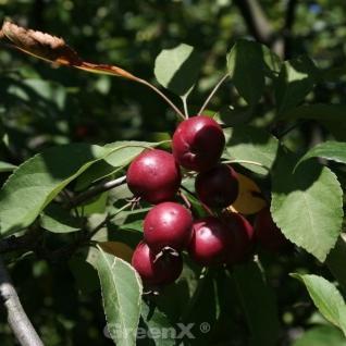 Hochstamm Zierapfelbaum Pom Pom 60-80cm - Malus Hybride