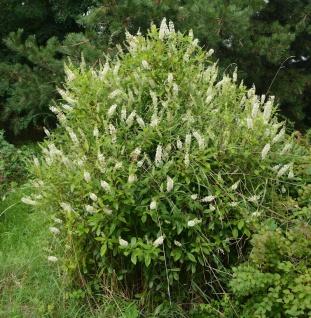 Zimterle Silberkerzenstrauch 125-150cm - Clethra alnifolia