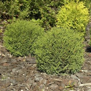 Kugel Lebensbaum Danica 20-25cm - Thuja occidentalis
