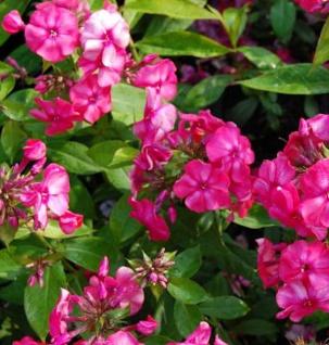 Hohe Flammenblume Karminflut - Phlox paniculata