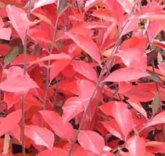 Hochstamm Apfelbeere Brilliant 80-100cm - Aronia arbutifolia