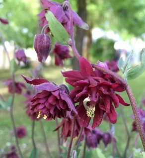 Akelei Ruby Port - Aquilegia vulgaris