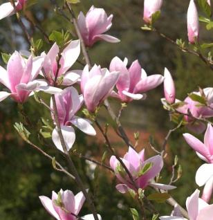 Magnolie Daybreak 100-125cm - Magnolia