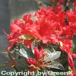 Japanische Azalee Hot Shot Variegated 20-25cm - Rhododendron obtusum - Zwerg Alpenrose