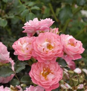 Hochstamm Rose Charmant 60-80cm