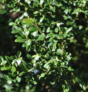 Hochstamm Japanische Stechpalme Ilex Glori Gem 80-100cm - ilex crenata