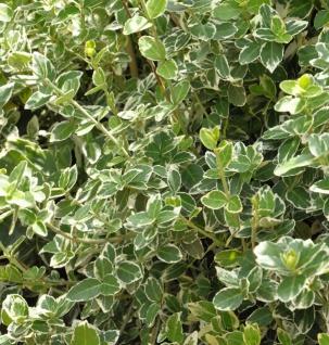 10x Weißbunte Kriechspindel Emerald Gaiety 15-20cm - Euonymus fortunei