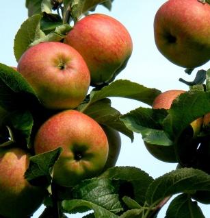 Apfelbaum Freiherr von Berlepsch 60-80cm - vitaminreich und fest