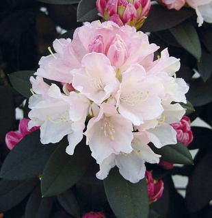 Rhododendron Dreamland 30-40cm - Alpenrose