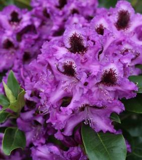 Großblumige Rhododendron Mogambo 40-50cm - Alpenrose
