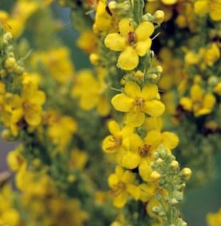 Phönizische Königskerze Jackie in Yellow - Verbascum cultorum