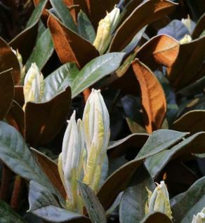 Rhododendron Teddy Bear 40-50cm - Rhododendron bureavii