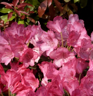 INKARHO - Rhododendron Kerstine 40-50cm - Alpenrose