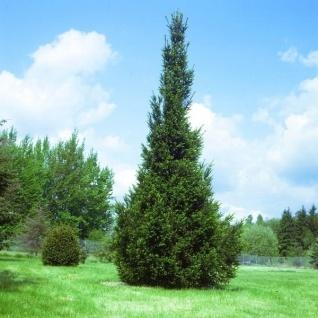 Säulen Fichte 80-100cm - Picea abies