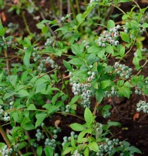 Heidelbeere Puru 30-40cm - Vaccinium corymbosum