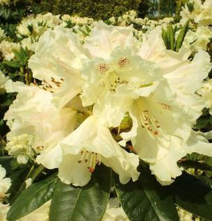 INKARHO - Großblumige Rhododendron Bellini 30-40cm - Alpenrose