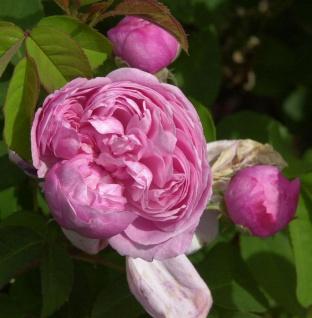 Historische Rose Sidonie 30-60cm